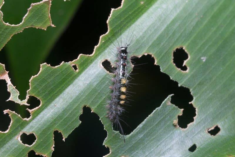 Gypsy Moth Catipiller