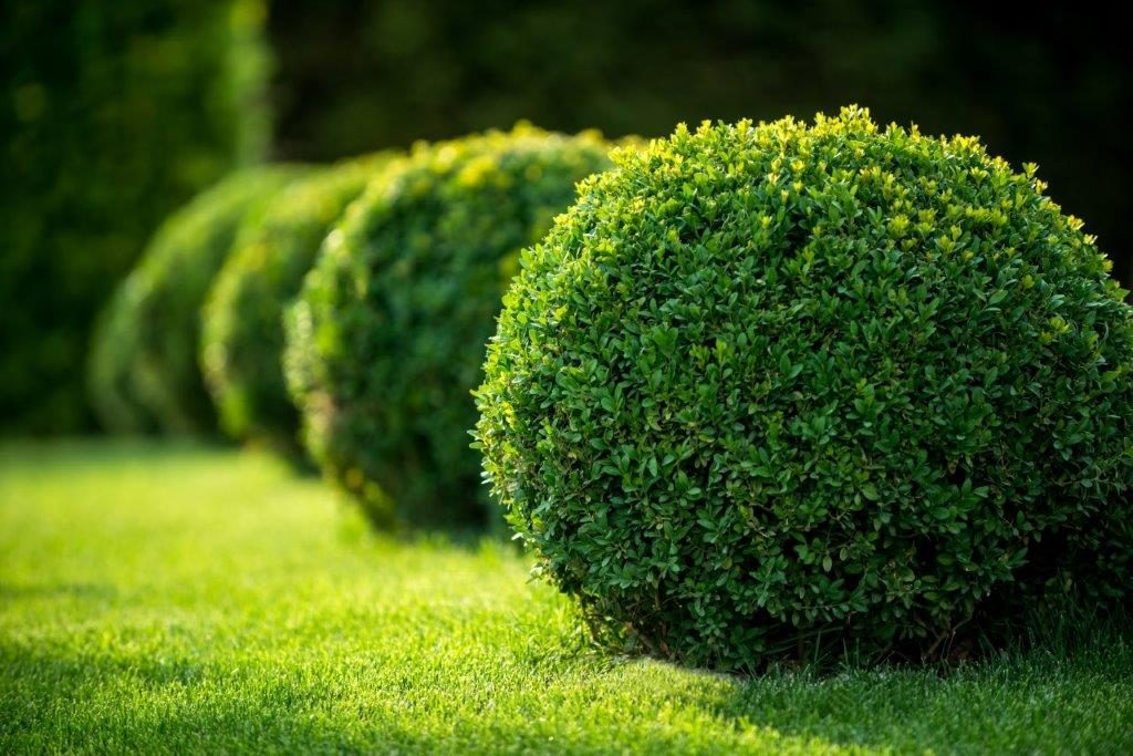 Shrubs on a lawn in a line