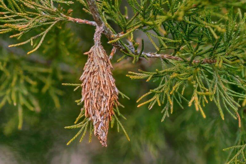 Bagworms on a tree