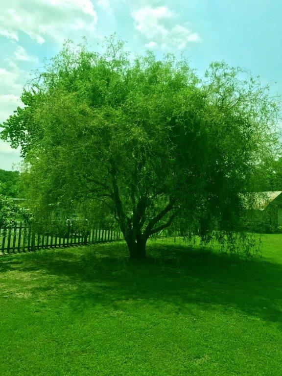 A tree in a yard