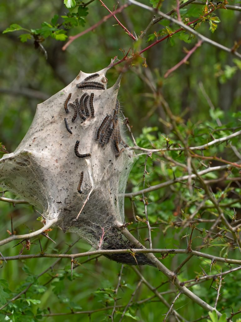 Tent Catepiller on a branch