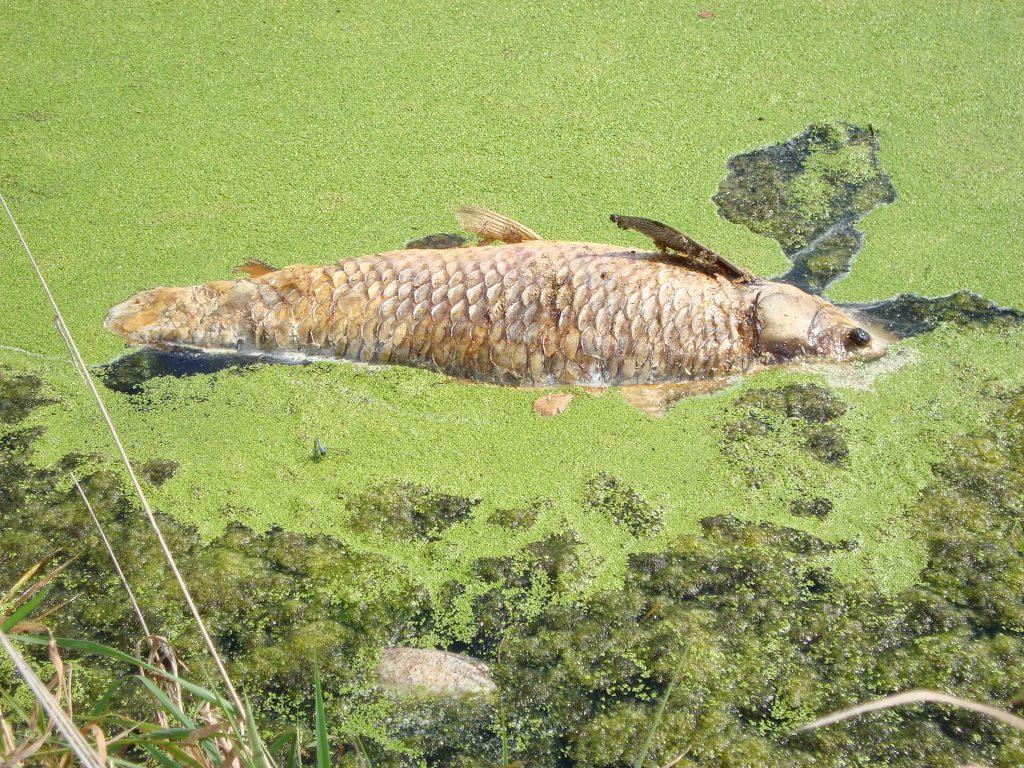 dead fish algae aquatic weed