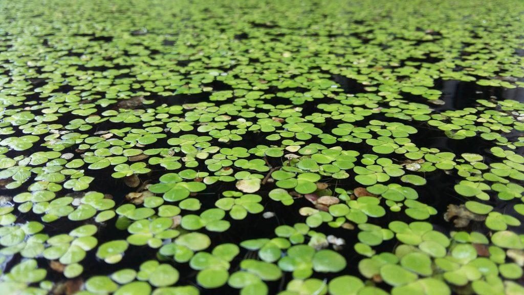 duckweed aquatic weed