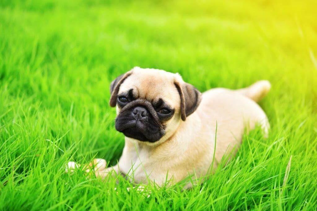 pug on a lawn